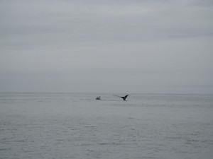 """Murrelet"" passed a whale going around Cape Scott."